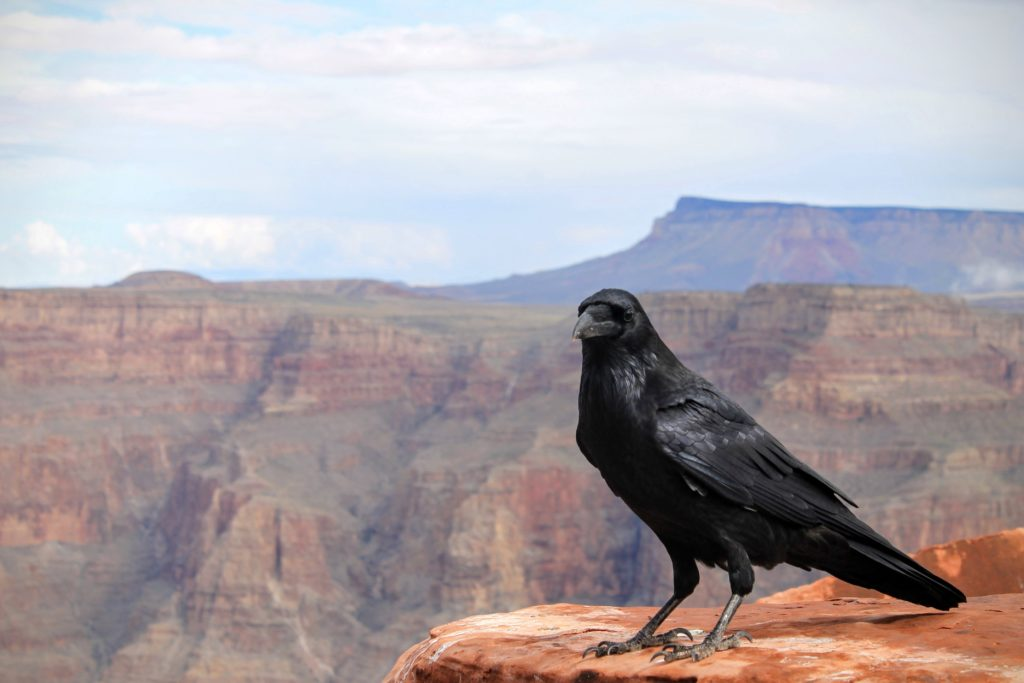 Un grand corbeau sur le grand canyon